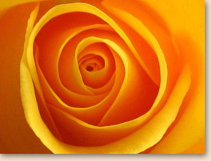 Handgebonden oranje rozen
