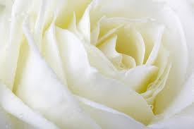Handgebonden witte rozen