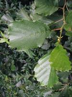 Alnus glutinosa(zwarte els)
