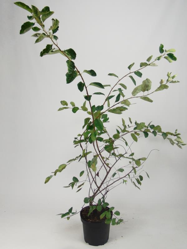 Amelanchier lamarckii