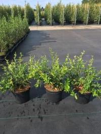 Groene berberis(groenblijvend)<br />Berberis Julianae