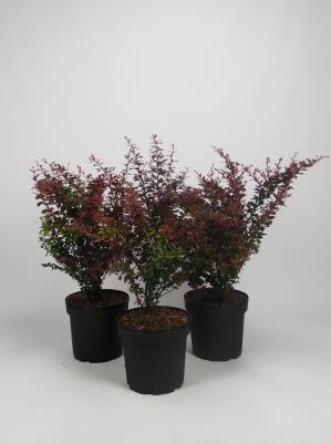 Berberis th. 'Atropurpurea'