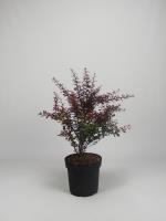 Rode berberis(bladverliezend)<br />Berberis thun Atrop