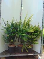 Groene berberis(bladverliezend)<br />Berberis thunbergii