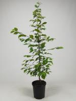 Haagbeuk(bladverliezend)<br />Carpinus betulus