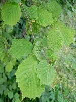 Corylus avellana (Hazelnoot)