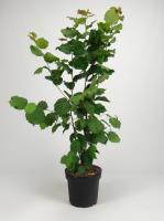 Hazelnoot<br />Coryus avellana