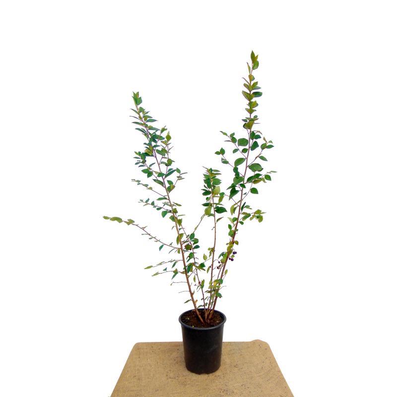 Cotoneaster lucidus