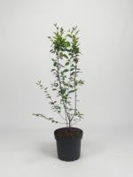 Cotoneaster lucidus (haagcotoneaster)