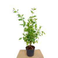 Cornus sericea 'Flaviramea'(gele cornus)