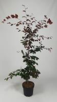 Fagus syl. 'Atropunicea'