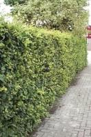 Groene beuk (bladhoudend) <br />Fagus sylvatica