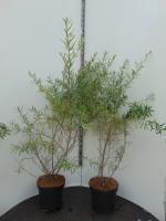 Hippophae rhamnoides (Duindoorn)