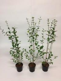 Ligustrum ovalifolium (groenblijvend)