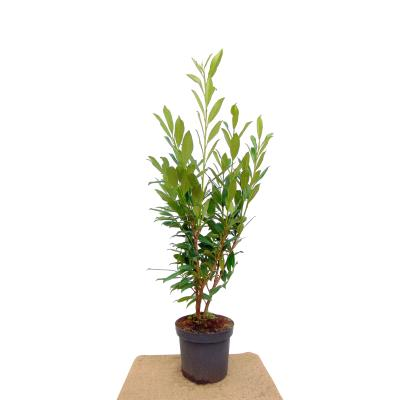 Prunus l. 'Caucasica'