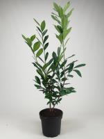 Prunus l. 'Caucasica' (laurier)