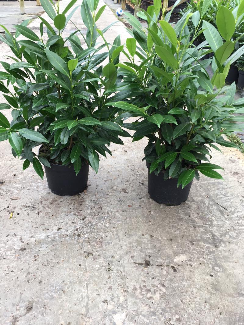 Prunus l. 'Herbergii'
