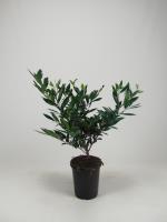 Prunus l. 'Otto Luyken'