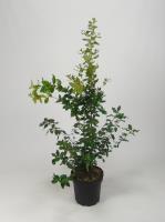 Quercus ilex (steen eik)