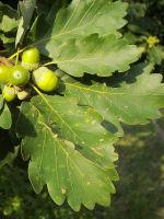 Quercus petraea (winter eik)