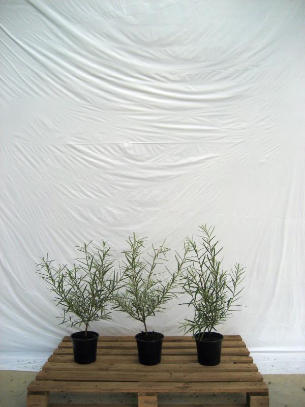 Salix elaeagnos 'Angustifolia'