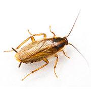 Advies en bestrijding kakkerlakken in Den Haag (voor particulieren)