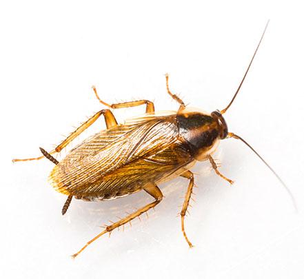 Advies en bestrijding kakkerlakken in Delft (voor particulieren)
