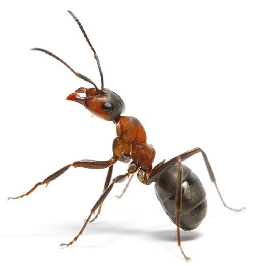Advies en bestrijding mieren in Leiden (voor particulieren)