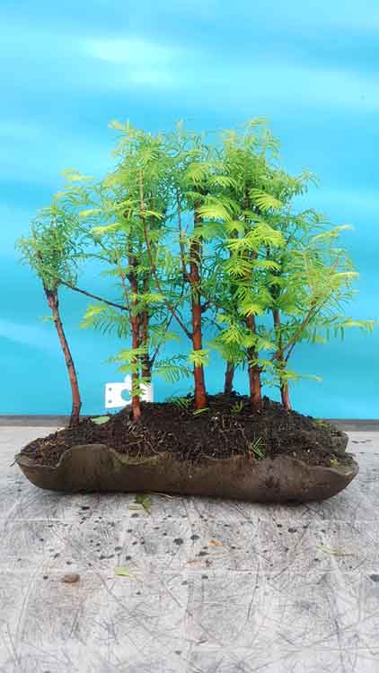 Metasequoia