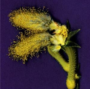 Foto Pollinato
