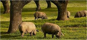 cerdo_guijuelo300.jpg