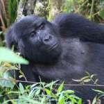 Help de Gorilla's!