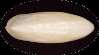 Sepia 15 - 20 cm