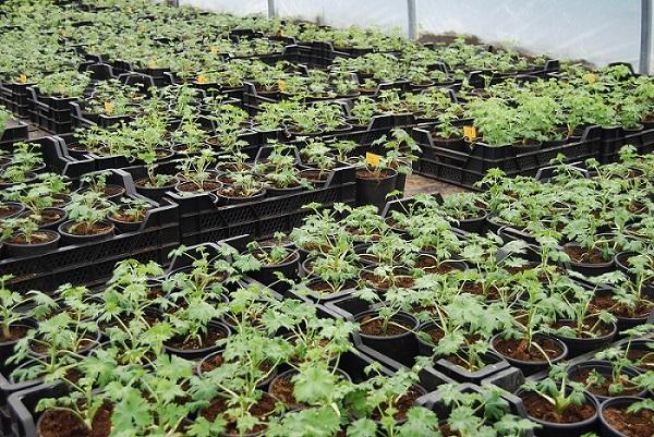 Delphinium stekken geplant in pot