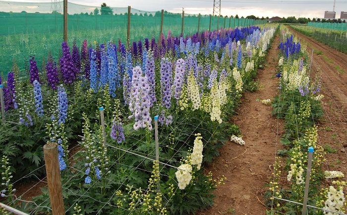 Delphiniums in bloei, larkspur with flowers
