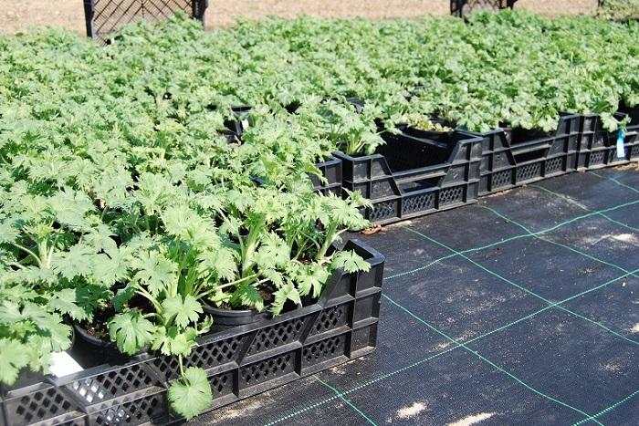 delphinium planten voor de verkoop