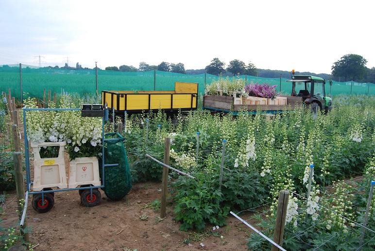 delphinium snijbloemen oogsten