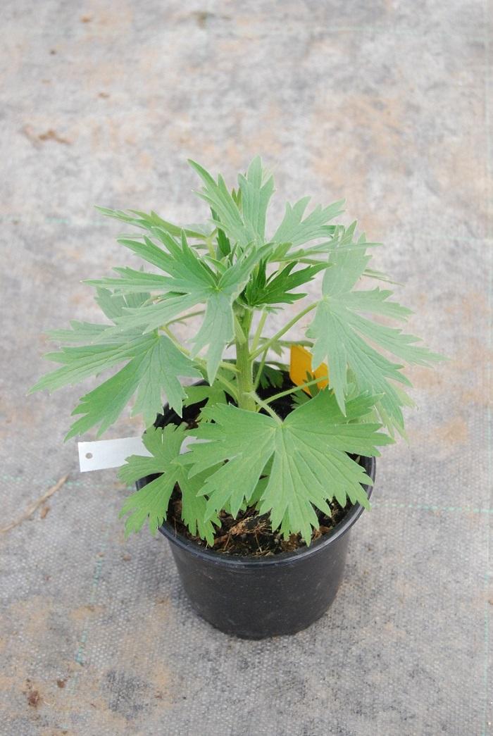 Delphinium / Ridderspoor Plant