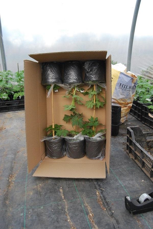 Versturen Delphinium Planten