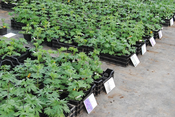 Ridderspoor / Delphinium planten voor verkoop