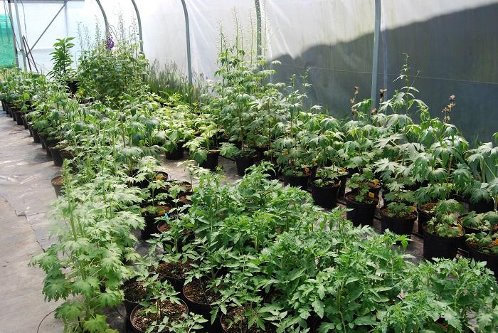 verschillende Delphinium soorten voor in tunnel kas