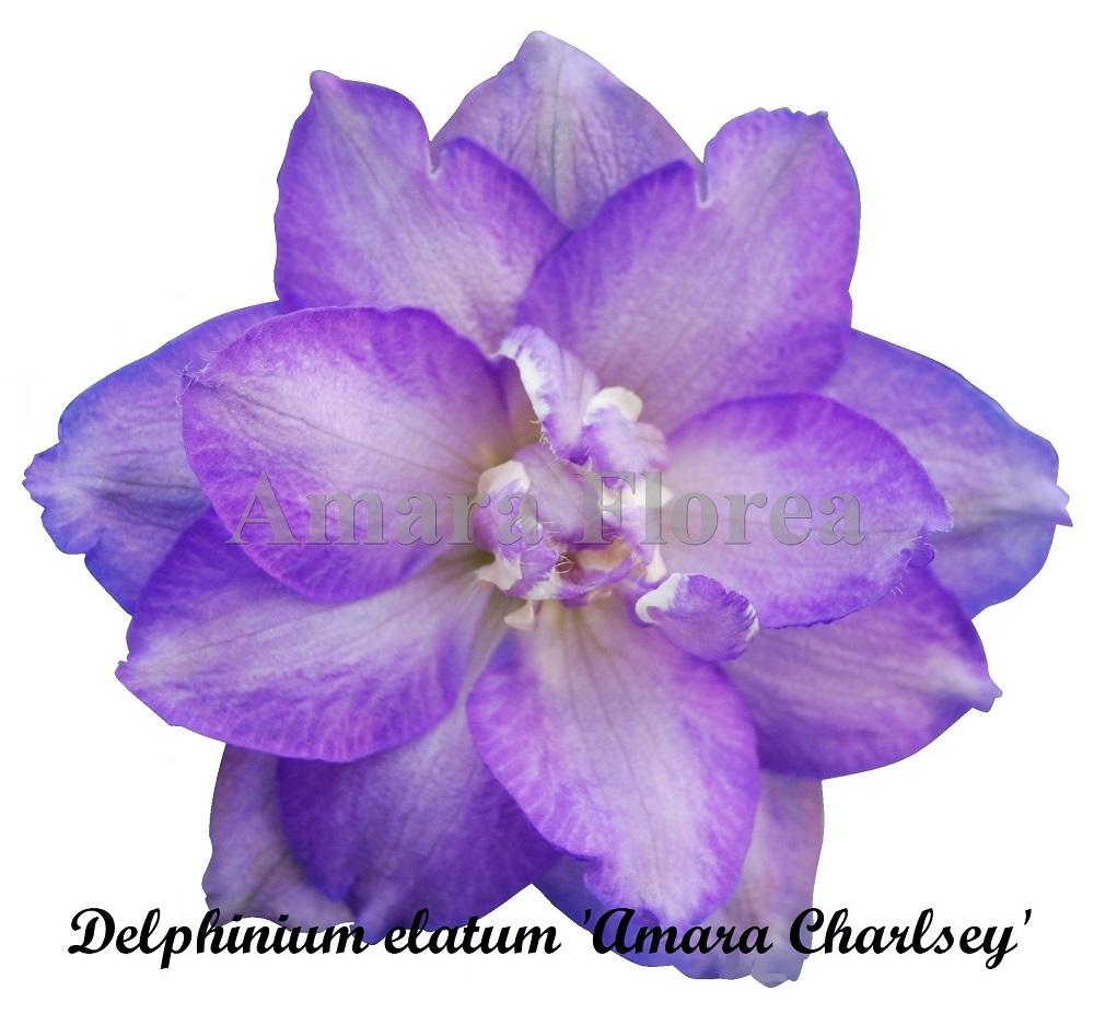 Delphinium elatum Amara Charlsey
