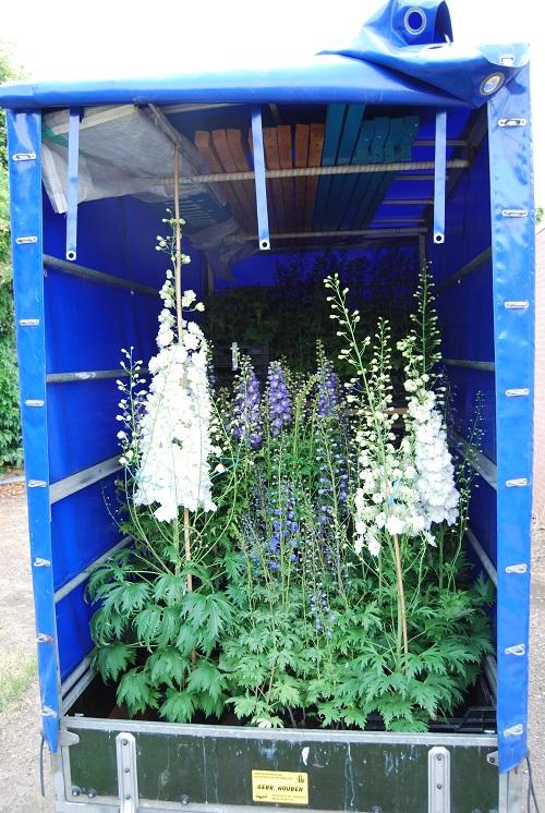 Laden auto met Delphinium planten