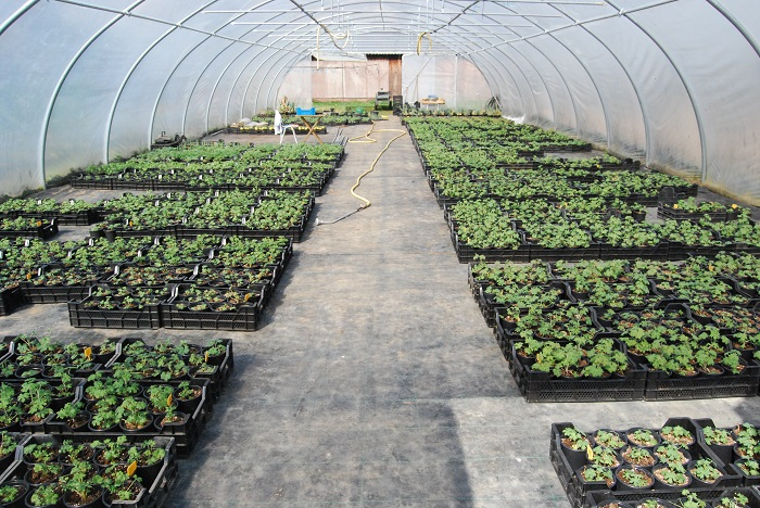Delphinium planten in tunnel