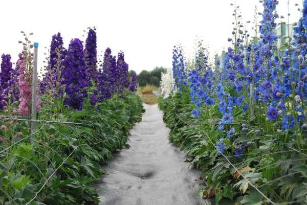 8 - Amara Florea ist spezialisiert auf den Anbau und Verkauf von Rittersporn-Pflanzen. Auf dieser Website finden Sie viele Informationen zur Pflege und Zucht von Rittersporn. Es gibt auch eine große Auswahl an Rittersporn-Pflanzen zum Verkauf.