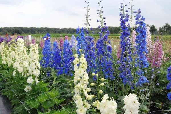 7 - Amara Florea ist spezialisiert auf den Anbau und Verkauf von Rittersporn-Pflanzen. Auf dieser Website finden Sie viele Informationen zur Pflege und Zucht von Rittersporn. Es gibt auch eine große Auswahl an Rittersporn-Pflanzen zum Verkauf.