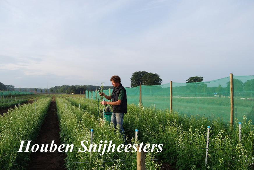 Houben Snijheesters Delphinium als Snijboem
