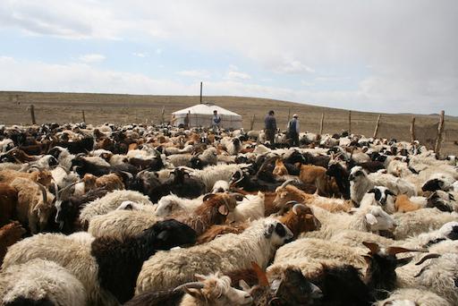Kudde Mongoolse schapen