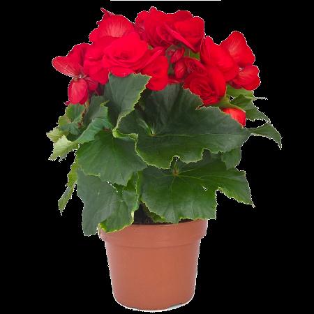 dolc amore begonia