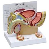 Anatomie model bekken man met testikels, doorsnede